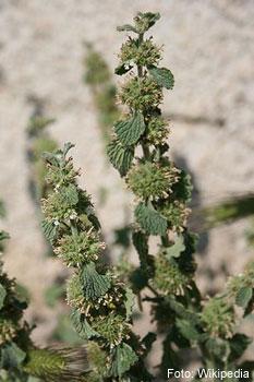 Andorn, Marrubium vulgare